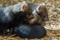 Letošní štěňata psů pralesních se narodila 10. července a mají se čile k světu.