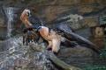 Mladý pár orlosupů bradatých má v Zoo Praha navázat na úspěšný odchov těchto pozoruhodných dravců.