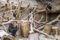 Takzvaná enrichmentová hostina byla příjemným zpestřením pro celou gorilí skupinu.