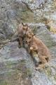 Mláďata jsou hned od narození vybavena dostatečně hustou srstí, i v zimě se tak venku na skalách cítí jako doma.