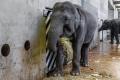 Janita je v očekávání vůbec poprvé, březost trvá u slonic 22 měsíců.