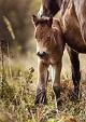 Novorozená klisnička se svou matkou Sgurr