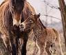 První hříbě divokých koní v Milovicích