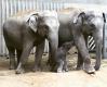 Obě slonice, matka Janita i Tamara se slůnětem