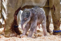 Sloní sameček hodinu a čtvrt po narození.