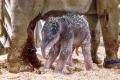 Sloní sameček hodinu a čtvrt po narození
