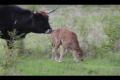 První mládě pratura v milovické rezervaci