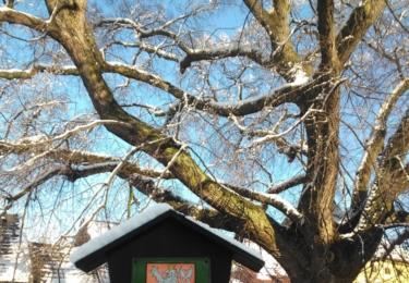 Památný strom ve Mšeně