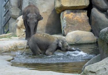 Mláďata slona indického Max a Rudi dovádějí ve venkovním bazénu.