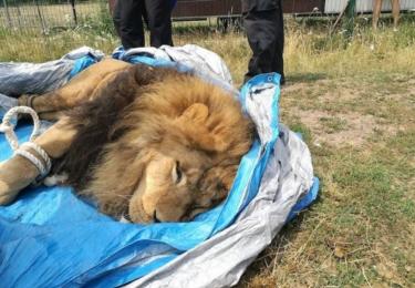 Veterinářům se podařilo 16. července uspat dva tygry a lva volně se pohybující po Bioparku Štít na Hradecku. Zvířata utekla z klece poté, co si sama vylomila dveře.