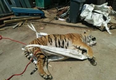 """""""Na Doksku jsme zajistili mrtvé tělo čerstvě zastřeleného tygra a větší množství kůží velkých kočkovitých šelem. Podle výsledku soudní pitvy těla tygra byl v neděli zastřelen,"""" sdělili iDnes.cz policisté. Dnes už se ví, že byl zcela zdravý."""