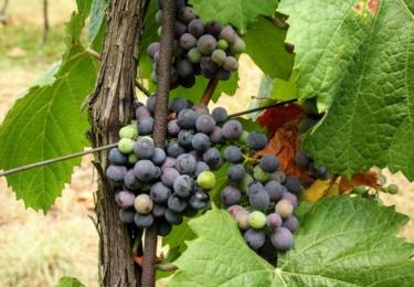 Víno pěstované u kaple
