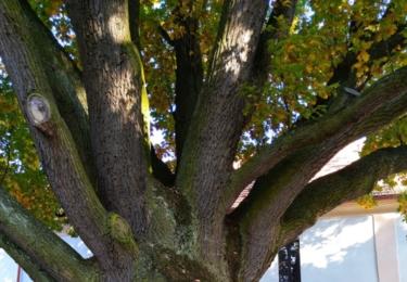 Staré dubisko v zámecké zahradě