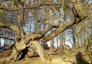 Památný habr v zámeckém parku