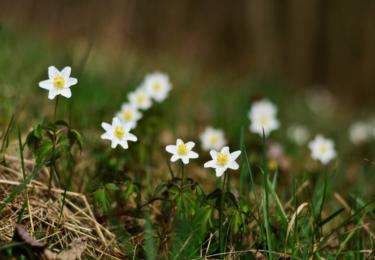 Kvetou již sasanky. Foto Facebook TS Lipenska