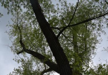 Topol v parku