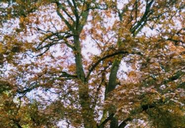 Dub v parku