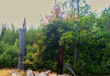 Padlý strom a dub bojující o život