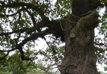 Památný dub u Čechova