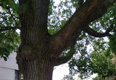 Památný dub v Chlumci