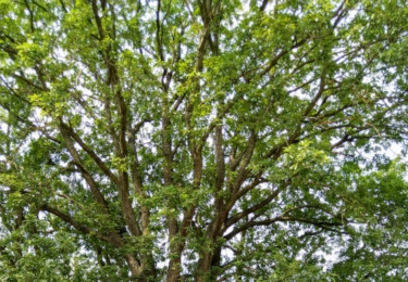 Chlumecký pamítný dub
