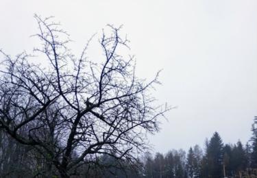Vysazená třešeň