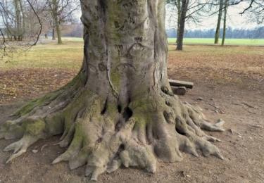 Kořeny starého stromu