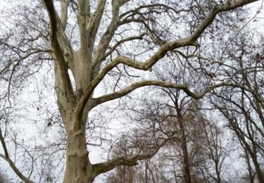 Vzácný jasan v zámeckém parku