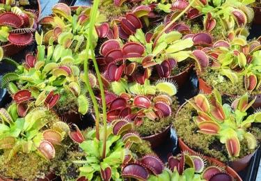 Mucholapka podivná (Dionaea muscipula) je jediná suchozemská masožravá rostlina, která loví drobné živočichy prudkým pohybem pasti