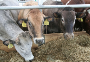 Školní zemědělský podnik Žabčice a jeho spokojené krávy