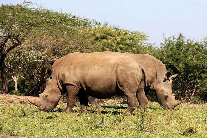 Nosorožci tuponosí (jižní poddruh)