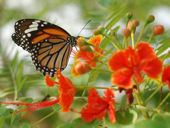 Motýl Danaus genutia