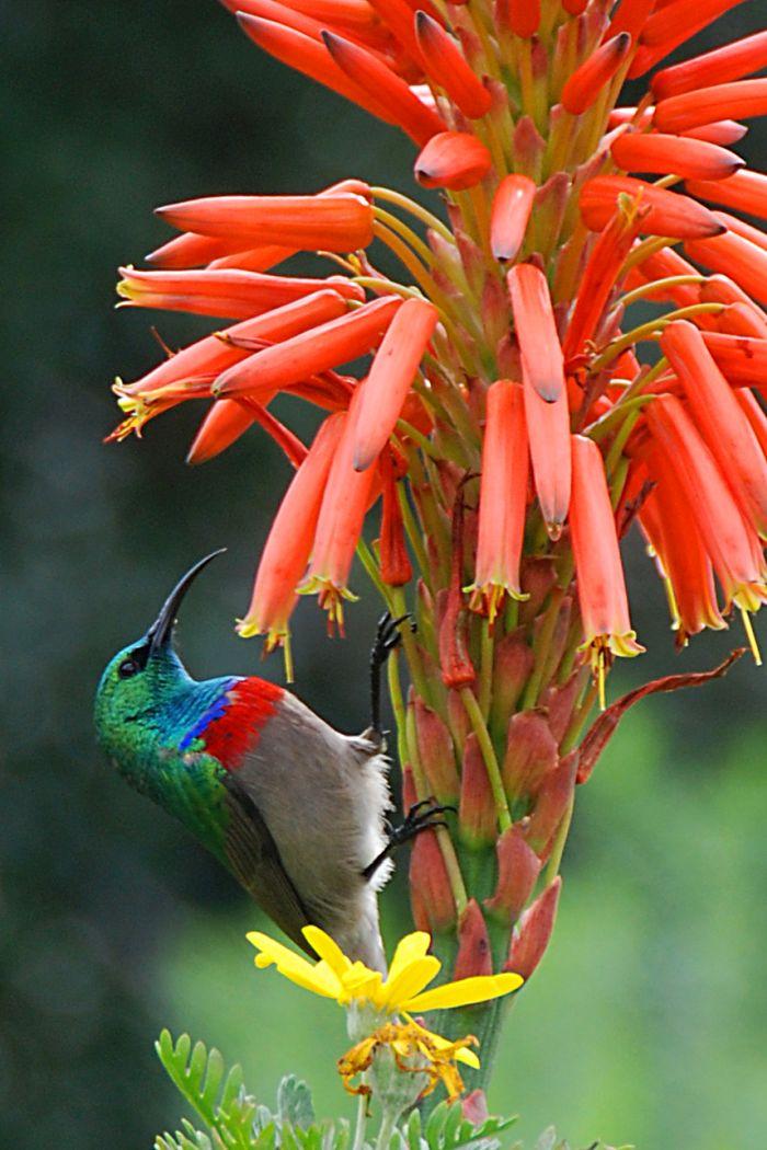 Botanická zahrada  Kirstenbosch - Strdimil mariquaský, samec