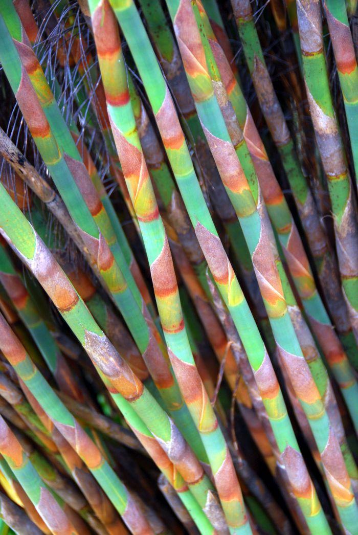 Botanická zahrada  Kirstenbosch – bambusové stvoly