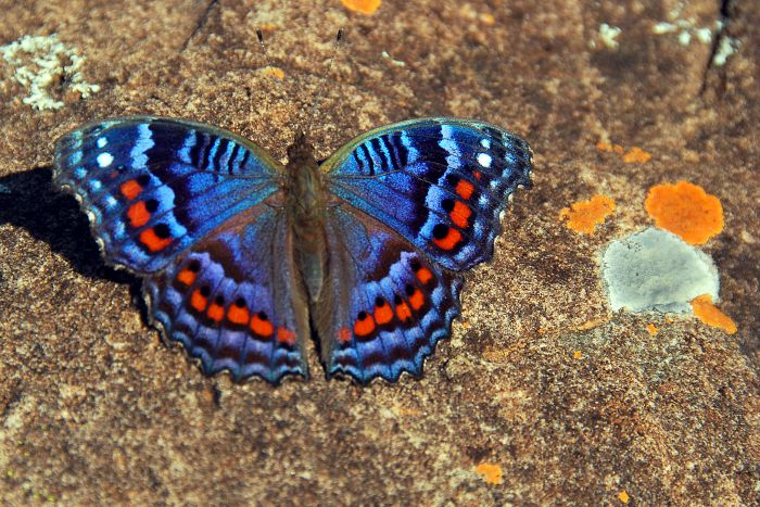 Motýl Precis Octavia