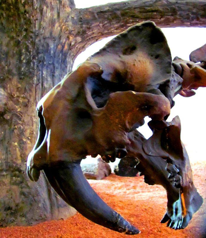 Unikátní kostra údajně vyhynulého brazilského šavlozubce, jejíž snímek jsem pořídil v Národním muzeu v Rio de Janeiru, padla nedávno za oběť ničivému požáru