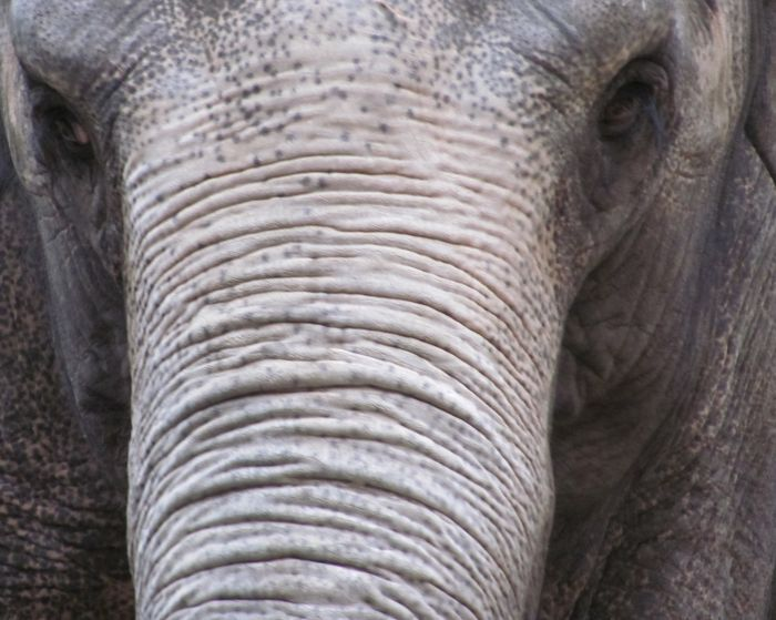 Vyhynulý trpasličí slon druhu Elaphas falconeri o velikosti poníka se mohl stát snadnou kořistí obřích pravěkých ptáků.