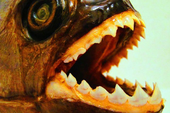 Ani děsivé zuby piraňám nepomohou a jsou tak častou kořistí růžových delfínů