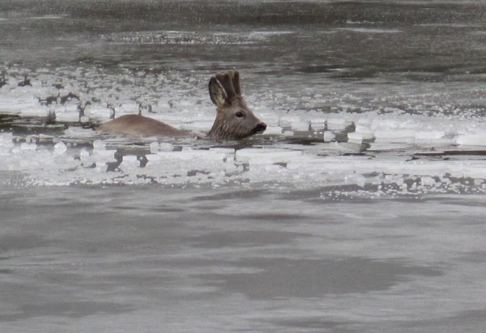 Srnci strávili v mrazivé vodě skoro hodinu