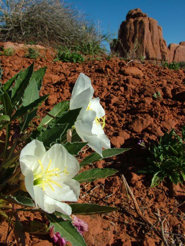 Bílá pupalka Oenothera caespitosa v n.p. Canyonlands