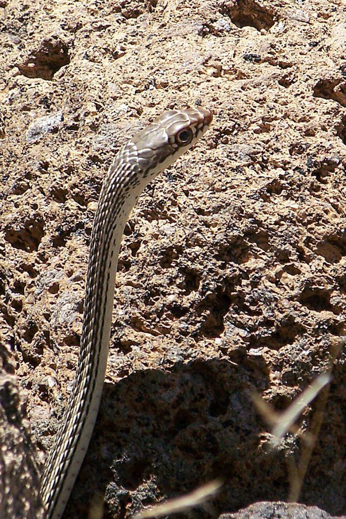 Masticophis taeniatus