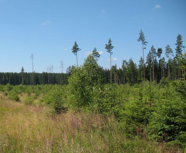 Zalesnění po orkánu Kyrill v Nových Hradech v roce 2014