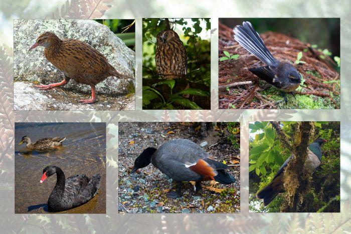 Ptáci Nového Zélandu
