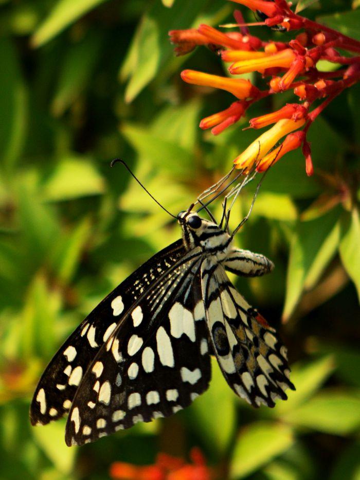 Motýl rodu Danaus