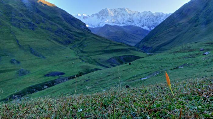 Žlutá varianta šafránu v pozadí s nejvyšší horou Gruzie Šcharou