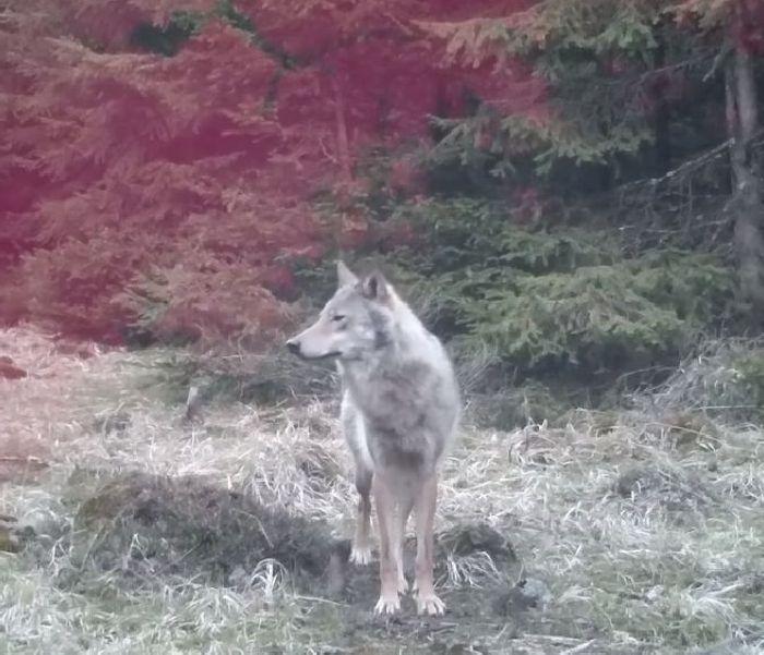 vlk_fotopast