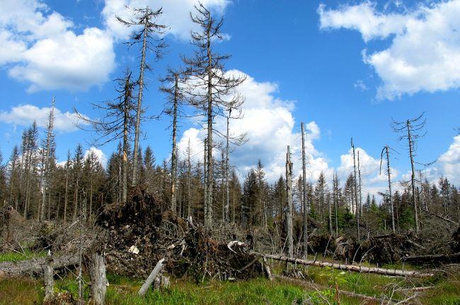 Les napadený kůrovcem