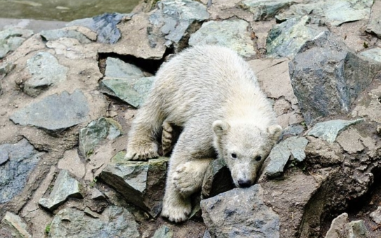 Medvídek Nanuk se přežral ryb, dostal antibiotika v mase s rýží