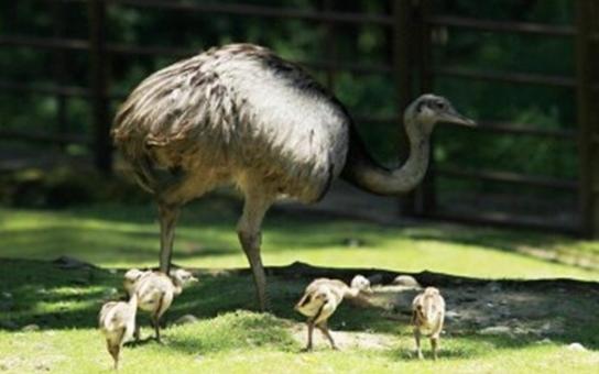 Zoo v Ostravě se raduje z mláďat Nandu pampových