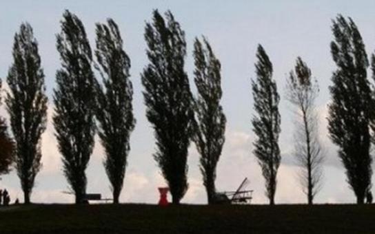 Topoly u Čafky se musí kvůli bezpečnosti pokácet